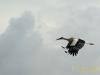 Storch im Anflug.